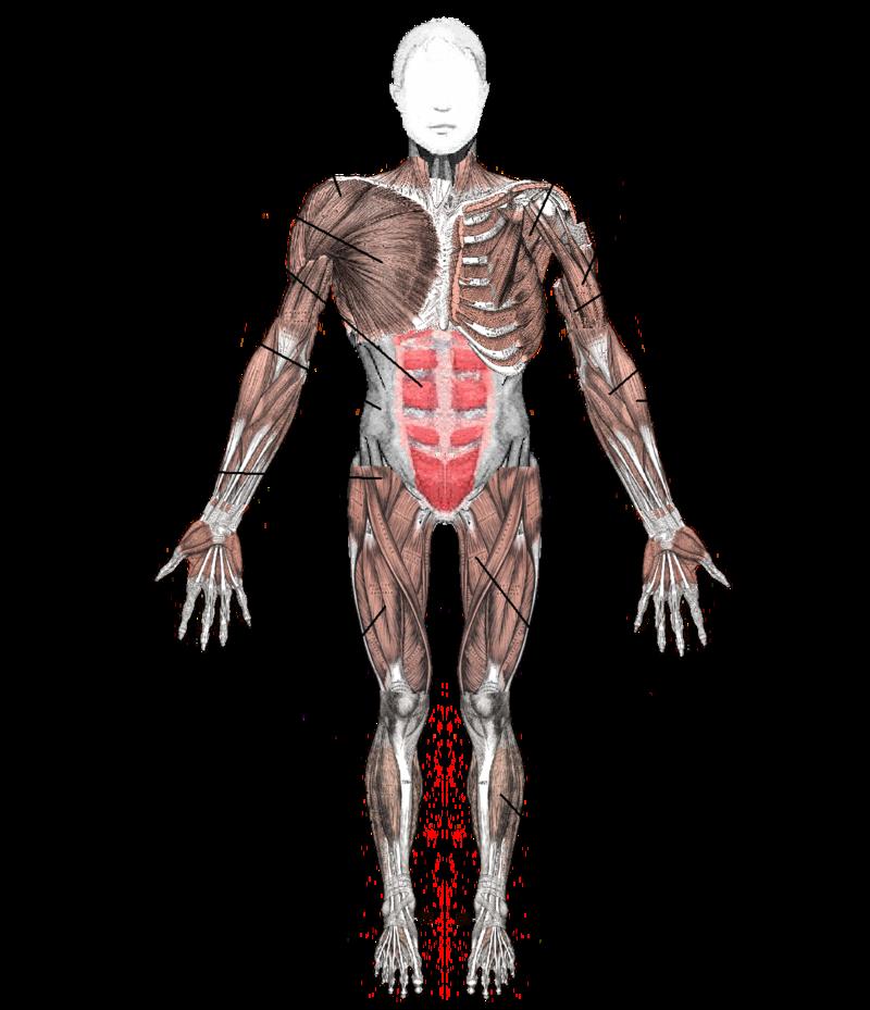 muscoli anteriori