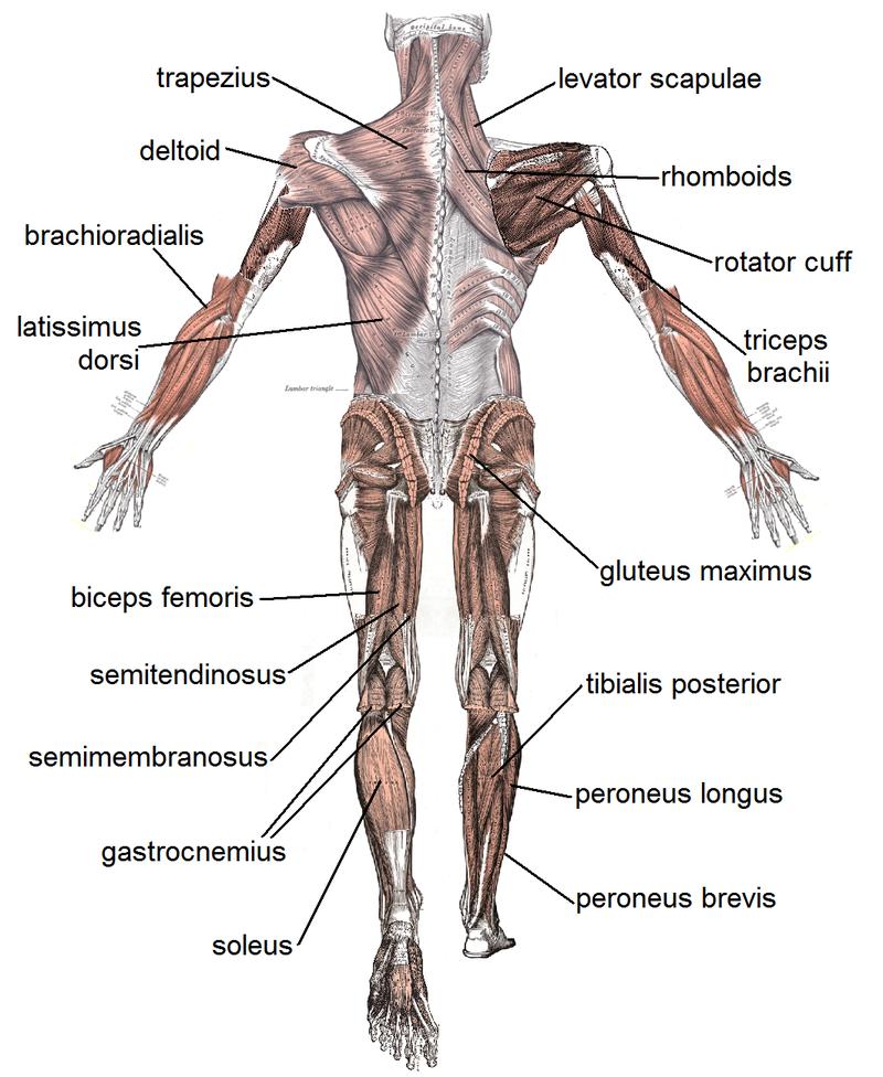 muscoli posteriori